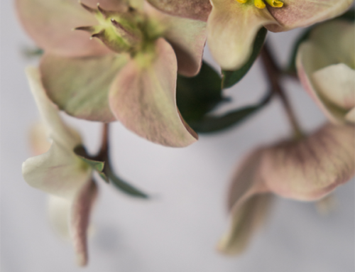 "Hellebores – Winter's ""Rose"""