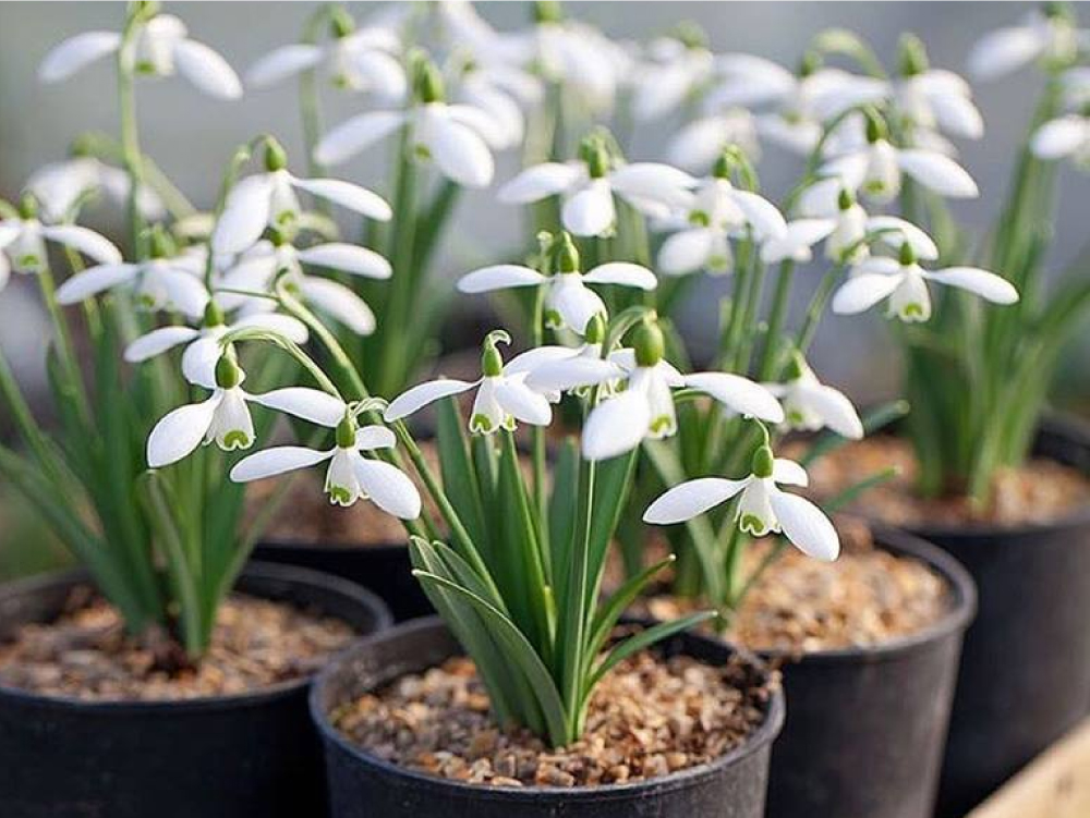 Plant spring flowering bulbs, snowdrops