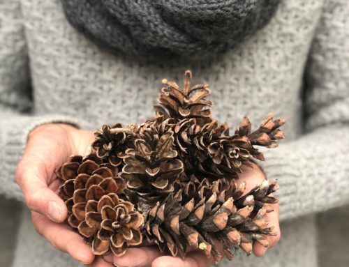 Pinecones – Nature's Ornament and Perfect Seed Delivery System