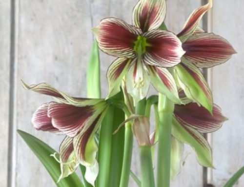 Amaryllis – Bringing in the warmth of the tropics in the heart of winter