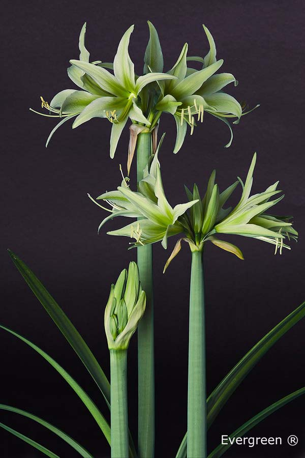 Evergreen Amaryllis Bulb forcing
