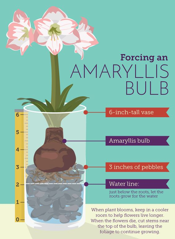 how to force amaryllis bulbs in water
